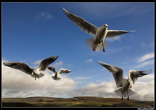 flying-rats