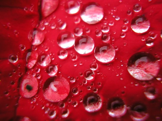 macro_roses-545x408