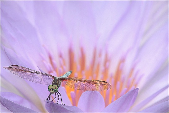 Dragonfly and the waterlily