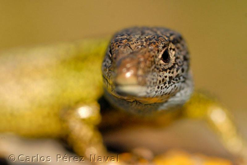 lagarto-verdinegro