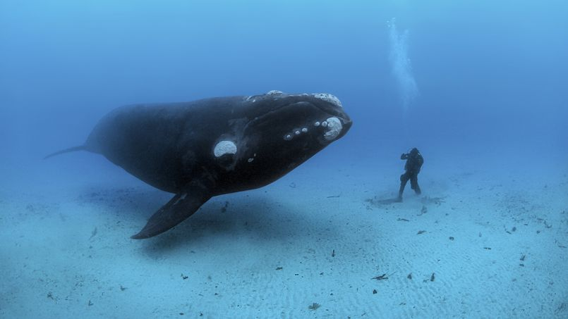 Un plongeur très proche d'une baleine - © National Geographic/Brian J. Skerry
