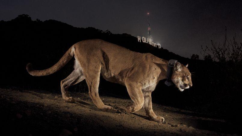 Un cougar photographié de nuit grâce à un système automatique  - © National Geographic/Steve Winter