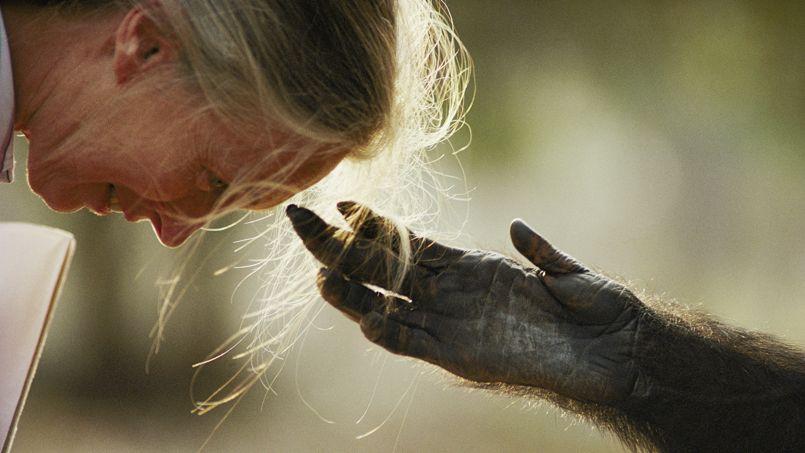 Le chimpanzé Jou Jou tend la main au Dr Jane Goodall - © National Geographic/Michael Nichols