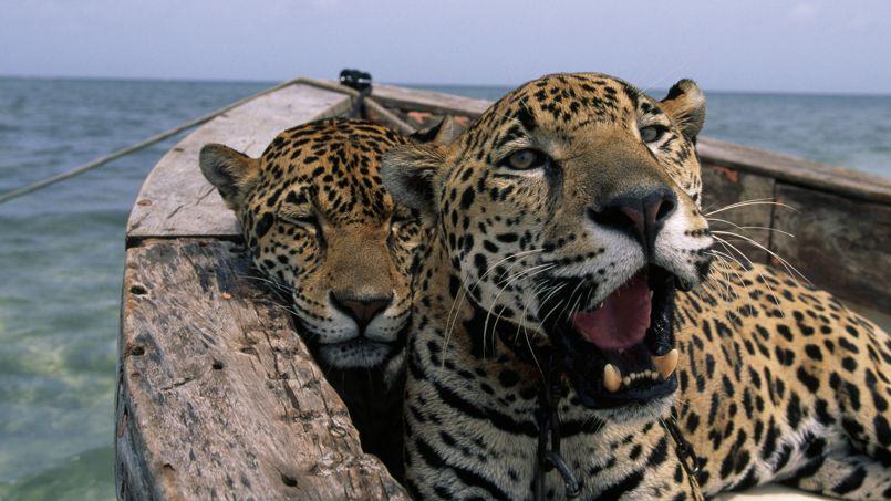Deux jaguars se reposent dans un bateau - © National Geographic/Steve Winter