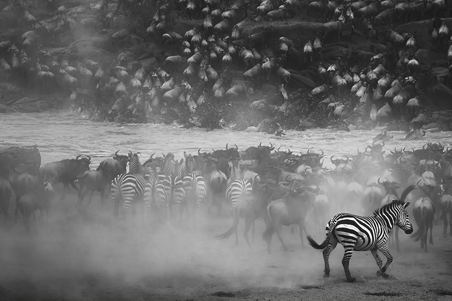 "© Panos Laskarakis (Greece) - 1er prix Professionnel 2016 en Wildlife - ""Go for fight"" (Masai Mara national park of Kenya)"