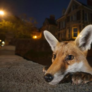 © Sam Hobson - Bristol Fox