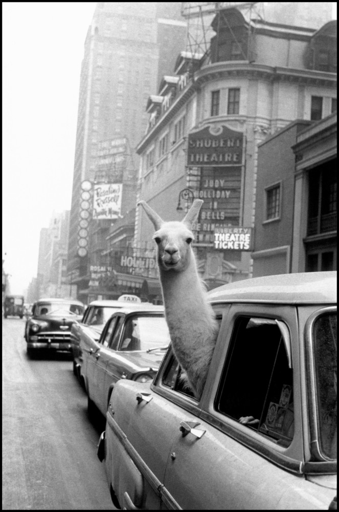 "Inge Morath - Inge Morath Foundation - Magnum Photos - ""USA, New York, Manhattan, 1957 - A Llama in Time Square"""