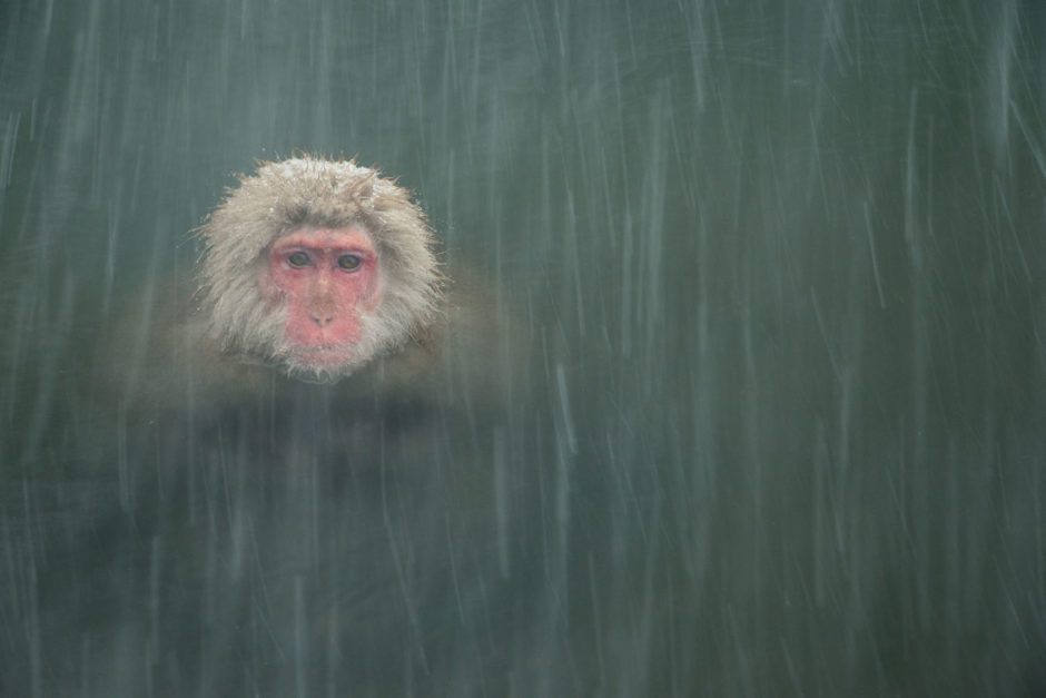 """© Toine Westen - Photo sélectionnée pour """"Mammifères sauvages en pleine nature"""" - """"Macaque japonais (Snow monkey) à Jigokudani Yaen Kōen, Nagano, Japon"""""""