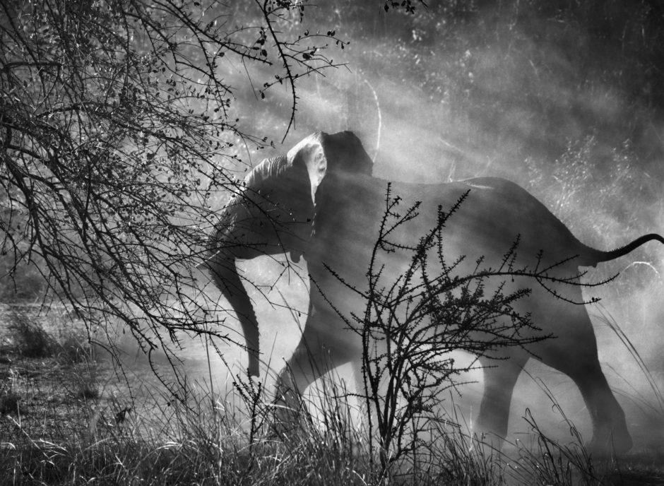 Elephant Sebastiao Salgado