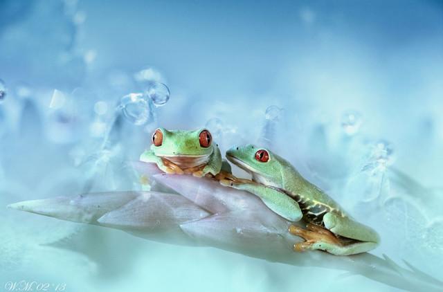 frogs-macro-photography-wil-mijer-14