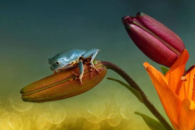 frogs-macro-photography-wil-mijer-4
